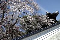 千光寺のしだれ桜